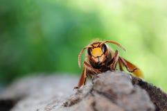 Retrato del avispón, retrato de la abeja Fotografía de archivo