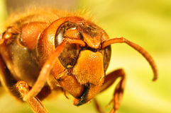 Retrato del avispón, retrato de la abeja Imagenes de archivo