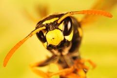 Retrato del avispón, retrato de la abeja Fotografía de archivo libre de regalías