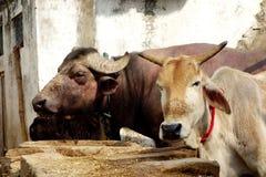 Retrato del búfalo y de la vaca Imagen de archivo libre de regalías