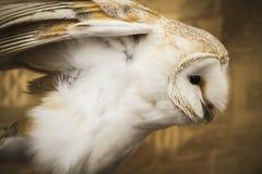 Retrato del búho, búho de oro, concepto de la fauna Imagenes de archivo
