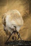 Retrato del búho, búho de oro, concepto de la fauna Fotografía de archivo