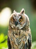 Retrato del búho de orejas alargadas - otus del otus del Asio Fotos de archivo