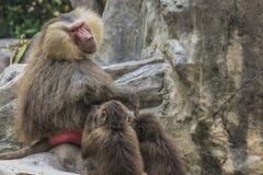 Retrato del babuino de los hamadryas del varón adulto Foto de archivo libre de regalías