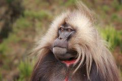 Retrato del babuino del corazón sangrante Fotografía de archivo