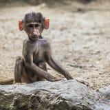 Retrato del babuino masculino joven de los hamadryas Fotografía de archivo libre de regalías