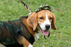 Retrato del beagle imagenes de archivo