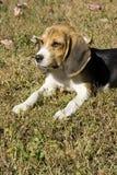 Retrato del beagle Fotos de archivo