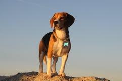 Retrato del beagle Foto de archivo libre de regalías