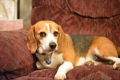 Retrato del beagle Foto de archivo