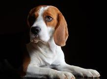 Perro de Beage imagen de archivo libre de regalías