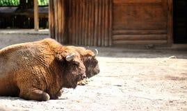 Retrato del bisonte americano en una granja Foto de archivo