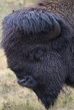 Retrato del bisonte con el fondo de la hierba verde Imagen de archivo