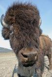 Retrato del bisonte de madera Foto de archivo