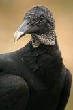 Retrato del buitre negro Fotografía de archivo