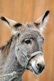 Retrato del burro estúpido fotos de archivo