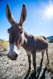 Retrato del burro granangular Fotografía de archivo libre de regalías