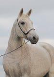 Retrato del caballo árabe Fotos de archivo libres de regalías