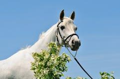 Retrato del caballo árabe gris Imágenes de archivo libres de regalías
