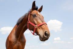 Retrato 01 del caballo Foto de archivo libre de regalías