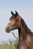 Retrato del caballo Fotos de archivo libres de regalías