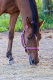 Retrato del caballo Foto de archivo