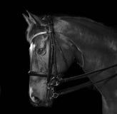Retrato del caballo Imagenes de archivo