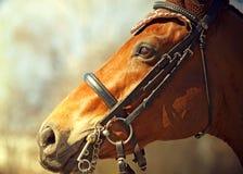 Retrato del caballo agradable del dressage de la bahía en frenillo foto de archivo