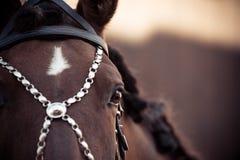 Retrato del caballo andaluz Imágenes de archivo libres de regalías