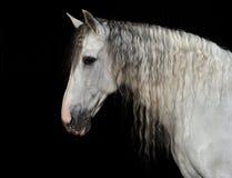 Retrato del caballo andaluz Foto de archivo