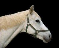 Retrato del caballo blanco Foto de archivo libre de regalías