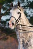 Retrato del caballo blanco del dressage Imagen de archivo libre de regalías