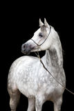 Retrato del caballo blanco en fondo negro Foto de archivo libre de regalías