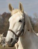 Retrato del caballo blanco Imagen detallada de la cabeza de caballo blanco hermosa afuera en el pasto Foto de archivo libre de regalías