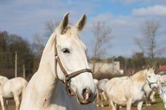 Retrato del caballo blanco Imagen detallada de la cabeza de caballo blanco hermosa afuera en el pasto Fotos de archivo libres de regalías