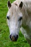 Retrato del caballo blanco que hace frente adelante en campo Fotos de archivo libres de regalías