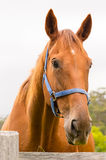 Retrato del caballo - castaña Imagen de archivo libre de regalías