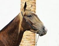 Retrato del caballo de Akhalteke en fondo del perno prisionero imagenes de archivo