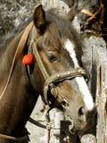 Retrato del caballo de bahía Fotos de archivo libres de regalías