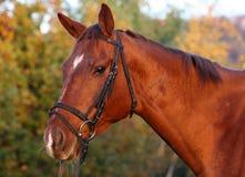 Retrato del caballo de bahía Imágenes de archivo libres de regalías