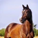 Retrato del caballo de bahía Imagen de archivo libre de regalías