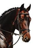 Retrato del caballo de bahía aislado en blanco Imagenes de archivo