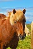 Retrato del caballo de bahía con la melena ligera Fotografía de archivo