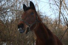 Retrato del caballo de bahía con la nariz nevosa Imagen de archivo libre de regalías