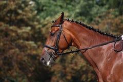 Retrato del caballo de bahía durante la demostración de la doma Fotos de archivo