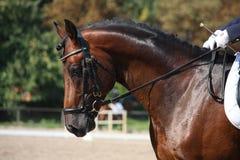 Retrato del caballo de bahía durante la demostración de la doma Fotografía de archivo