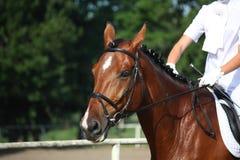 Retrato del caballo de bahía durante la demostración del dressage Imagenes de archivo