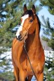 Retrato del caballo de bahía en el fondo de pinos Fotos de archivo libres de regalías