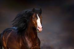 Retrato del caballo de bahía en el movimiento Imágenes de archivo libres de regalías
