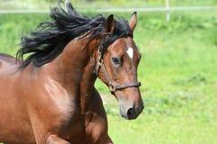 Retrato del caballo de bahía en la libertad Foto de archivo